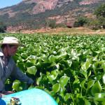 HyacinthGaugingWeirHawarden